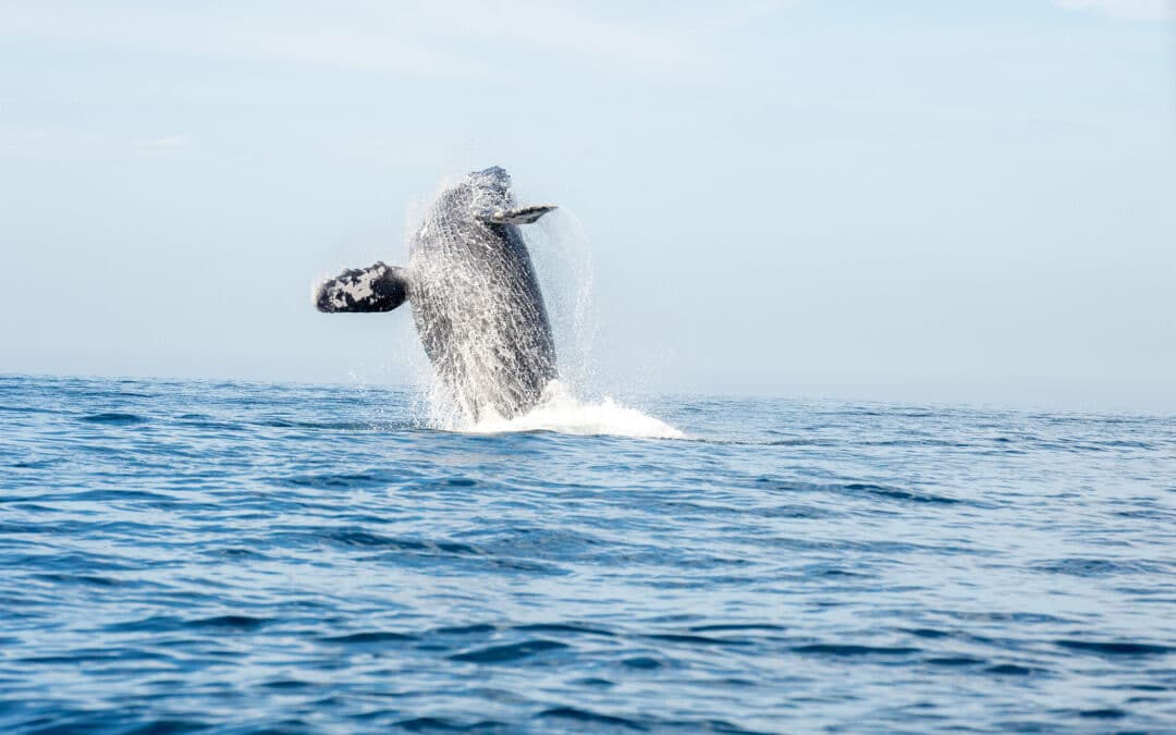 Humback Whale breaching from the ocean