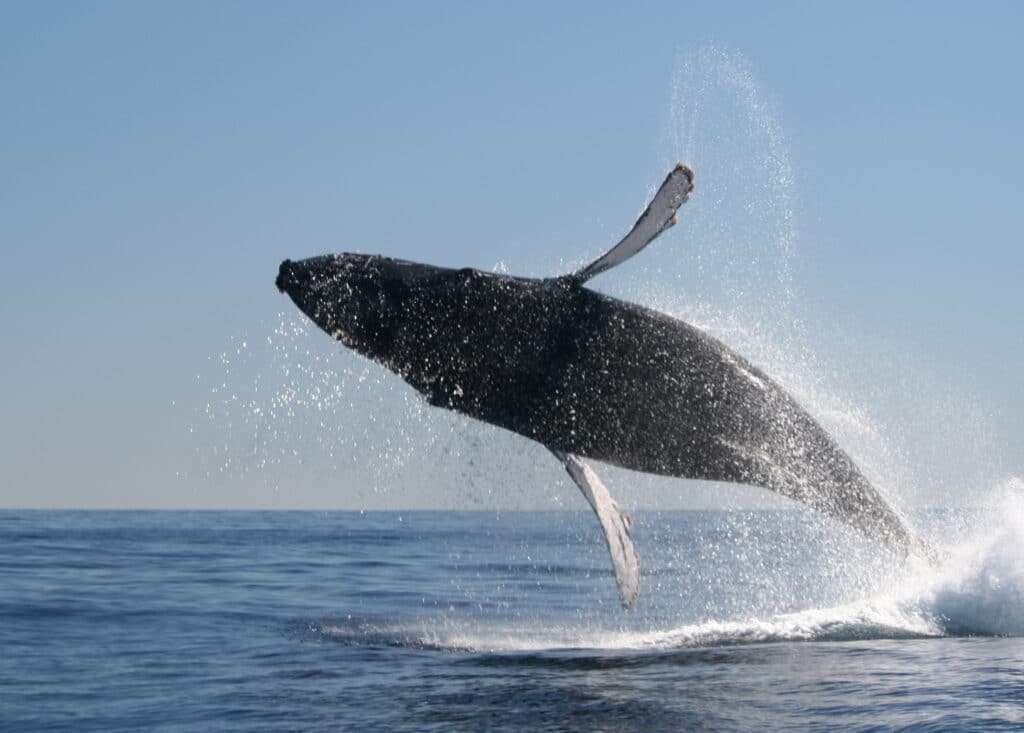 Humpback whale calf breaching in Cabo San Lucas
